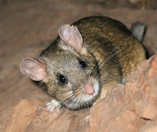 Pack Rat Removal in Phoenix