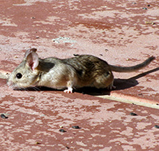 Pack Rat Removal in Scottsdale