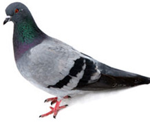 Pigeon control in Paradise Valley